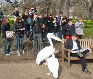 Pelican in St James Park